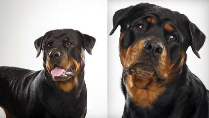 Unique Rottweilers - Dog Breeders