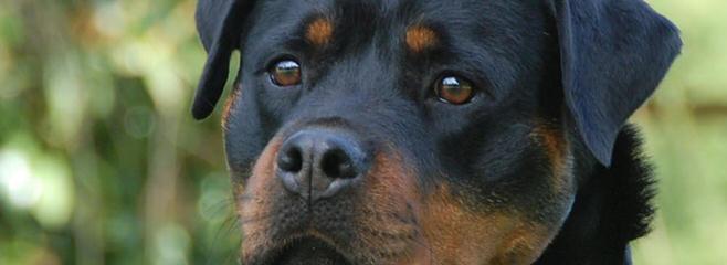 Trojan Perm. Reg'd. Rottweilers - Dog Breeders