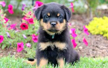 Rottweiler Kennel Principium - Dog Breeders