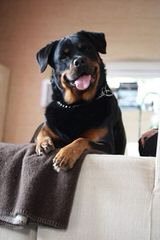 Wolfcrests Natural Born Bobtail Rottweilers - Dog Breeders