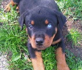 Germen Rottweilers - Dog Breeders