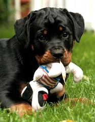 German Rottweiler Stud For Hire - Dog Breeders