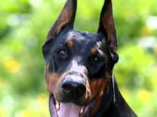 Rottie Land Pups For Sale - Dog Breeders