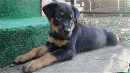 Rottweiler Puppies Vom Wu-Tang Top Quality German Bloodlines - Dog Breeders