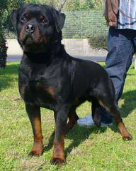 Natural Born Bobtail Rottweilers - Dog Breeders