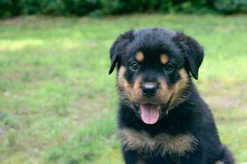 Vom Grossen Rottweilers - Dog Breeders