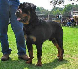 Dream maker's puppies - Dog Breeders