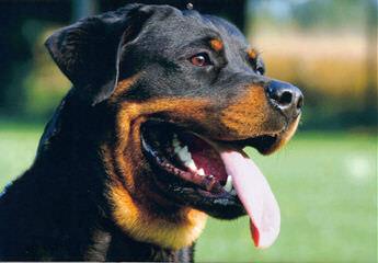 Von Williams' Haus Rottweilers - Dog Breeders