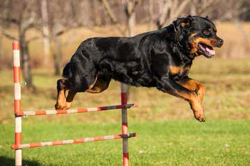 Offenburgher Rottweilers - Dog Breeders