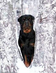 Stoney Plains Rottweilers - Dog Breeders