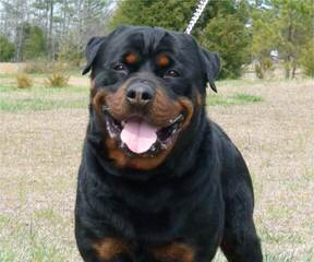 Baltasar Rottweilers - Dog Breeders
