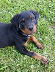 Miniature Rottweilers, Meagle Puppies - Dog Breeders