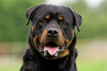 Rotts Bullmastiff/Stud Service And Puppies - Dog Breeders