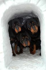Rottweiler Puppies - Dog Breeders