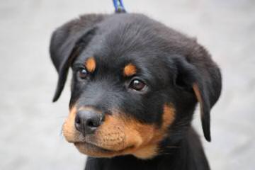 doglord kennels - Dog Breeders