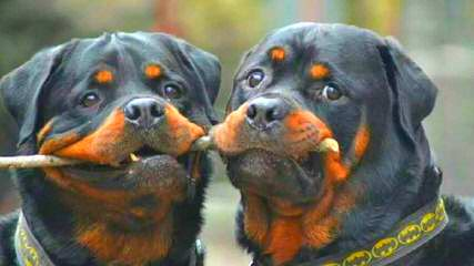 Redyre Rottweilers - Dog Breeders