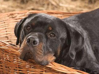 Gold Hill Rottweiler Kennels - Dog Breeders