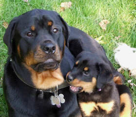 Ol Country Rotties - Dog Breeders