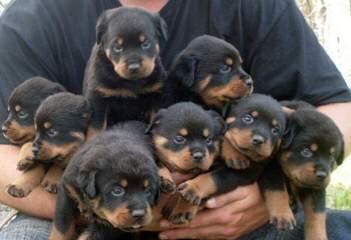 Germen Rottweilers - Dog Breeders