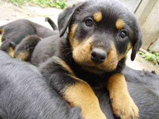 Rottweiler Kennel Principium - Dog and Puppy Pictures
