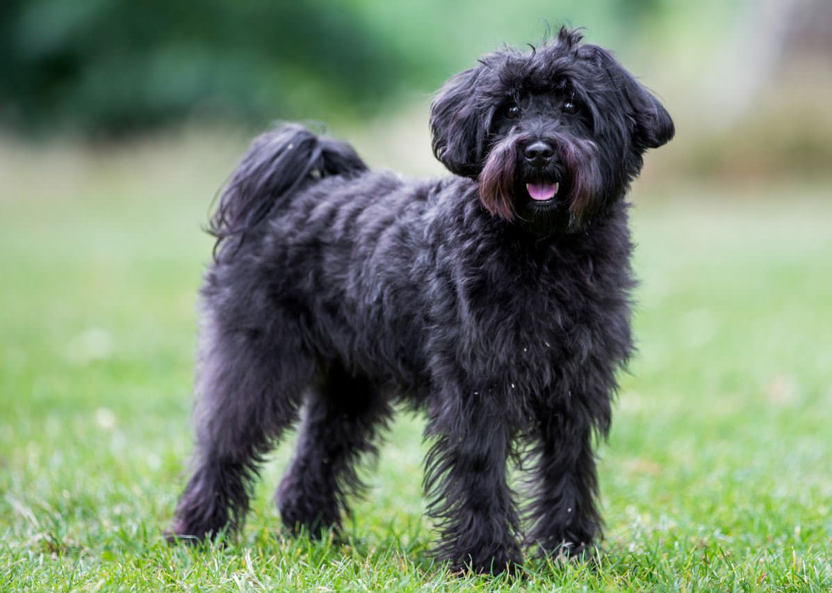 Schnoodle Dogs and Puppies