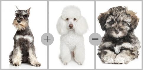 English & American Golden Retriever, & Schnoodle Puppies - Dog Breeders