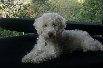 Bay Lake Labradoodles-Florida - Dog Breeders