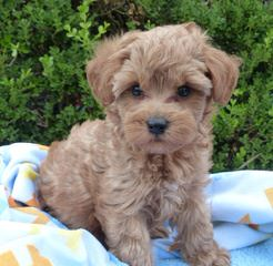 Dry Creek Kennel – Schnoodles & Labradoodles - Dog Breeders