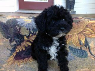 Mary's Schnoodle Puppies - Dog Breeders