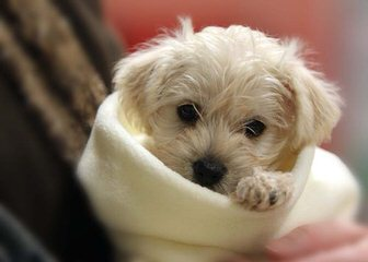 English & American Golden Retriever, & Schnoodle Puppies - Dog Breeders