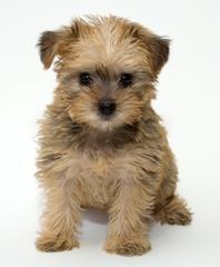 Sunnyfarm: Shiba And Schnoolde Puppies Available - Dog Breeders