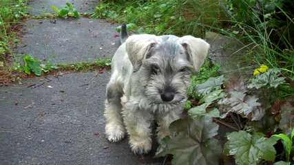 Town And Country Schnoodles  Schnoodle Puppies Available - Dog Breeders