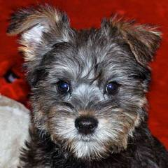 Heartlight Companions Schnoodle - Dog Breeders