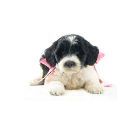 Teddybearschnoodles.Com Accepting Applications Now! - Dog Breeders