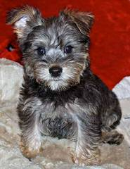 Schnoodle Puppies For Sale Schnoodle Dog Breeders