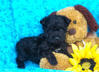 Schnoodle Puppies For Sale / Schnoodle Dog Breeders