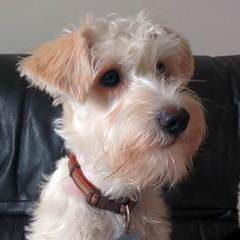 Schnoodles Are Ready Now! - Dog Breeders