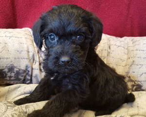 Wild Wood Acre Schnoodle Makers/ Dedicated To Raising Top Quality Schnoodles Only! - Dog Breeders