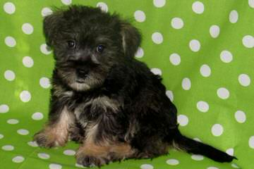 Town And Country Schnoodles  Schnoodle Puppies Available - Dog and Puppy Pictures