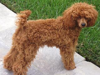 Sweet P Miniature Schnauzers - Dog Breeders