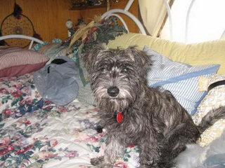 Peek-A-Poo And Schnoodles Too - Dog Breeders