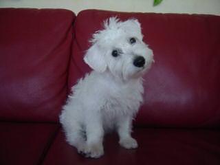 Breeders Of Schnoodle Puppies & Schnickerdoodle(Schnoodle) Puppies - Dog Breeders