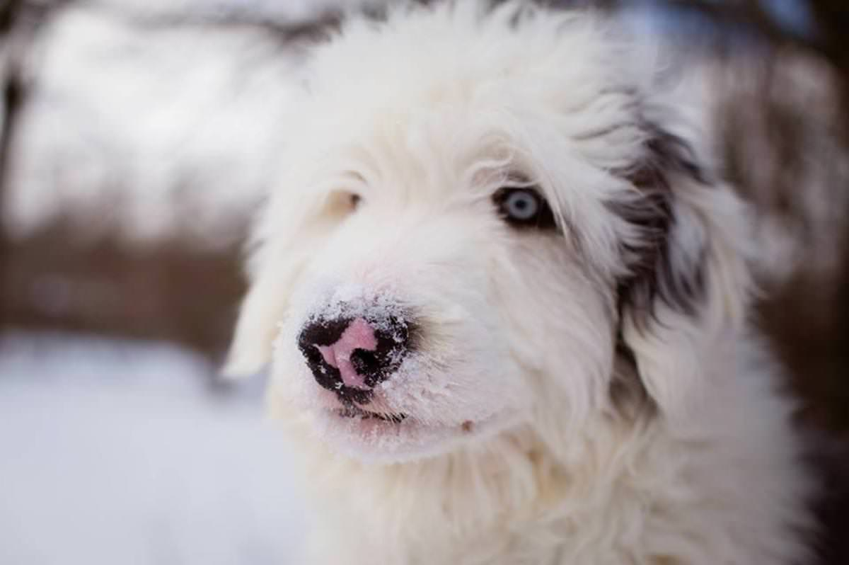 Sheepadoodle Dogs and Puppies