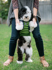 Sheepadoodle Puppies - Dog Breeders