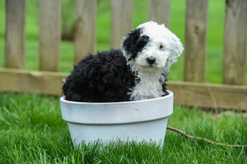 Utah Wiggle Bottoms - Dog Breeders