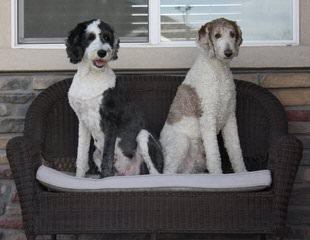 Dogpatch Sheepadoodles - Dog Breeders
