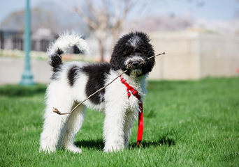 Dog Breeders in Quebec / Puppies For Sale in Quebec