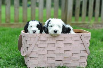 Metz's Sheepadoodle Pups - Dog Breeders