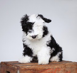 Metz's Sheepadoodle Pups - Dog Breeders