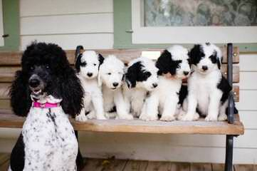 Cranbrook Family Dogs - Dog Breeders
